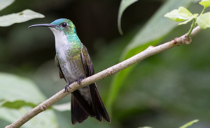 White Chested Emerald, Asa Wright Nature Center, Trinidad