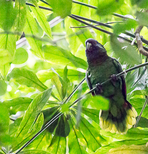 Imperial Parrot, Dominica.