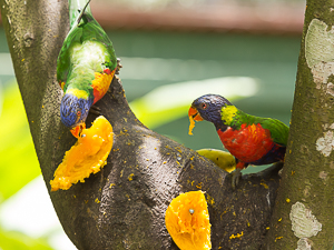 Red-collared Lorikeet, Jardin Biological Garden, Guadeloupe.