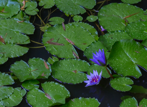 Picture 4 - Water Lillies in the Rain.