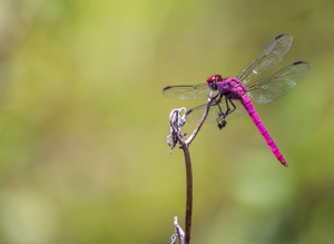 Picture 5 - A Red Dragonfly