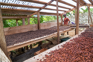 Coco Beans Drying, near Woodford Hill, Dominica