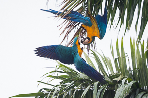 Blue and Yellow Macaw, Trinidad