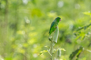 Green-rumped Parrolet on an Okra Plant, Trinidad