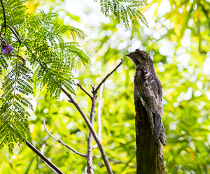 Common Potoo, I had to go back four times to get a picture.  Was difficult to tell bird from tree.