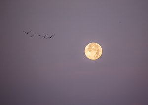 Full Moon with a flight of Pelicans